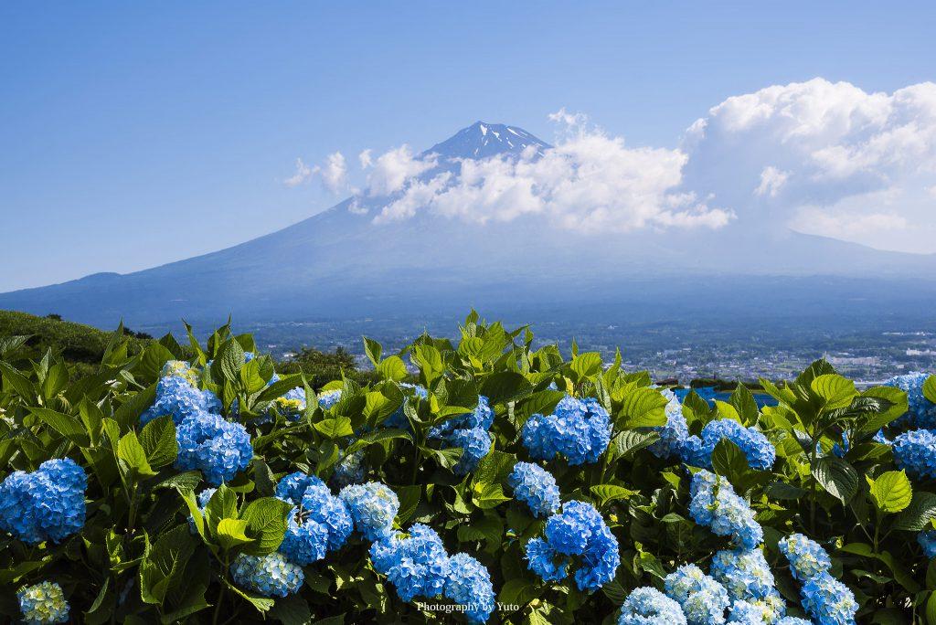 富士山とアジサイ(静岡県富士市)