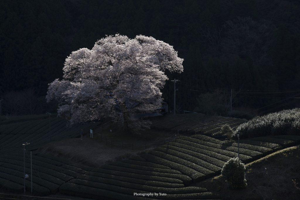 牛代の水目桜(静岡県島田市)