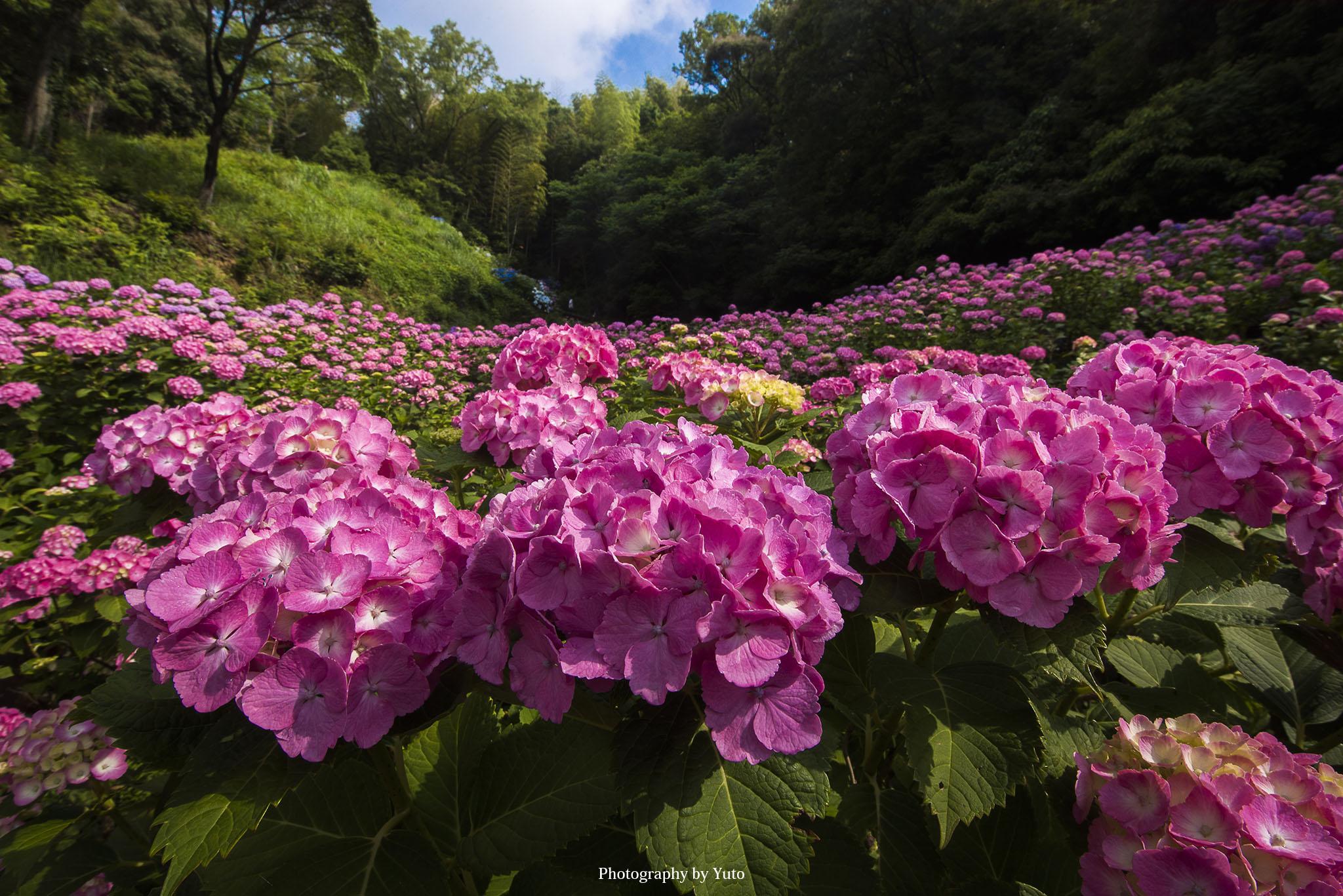 花の撮り方:あじさい 晴れ・曇り・雨 天候別の撮り方を紹介
