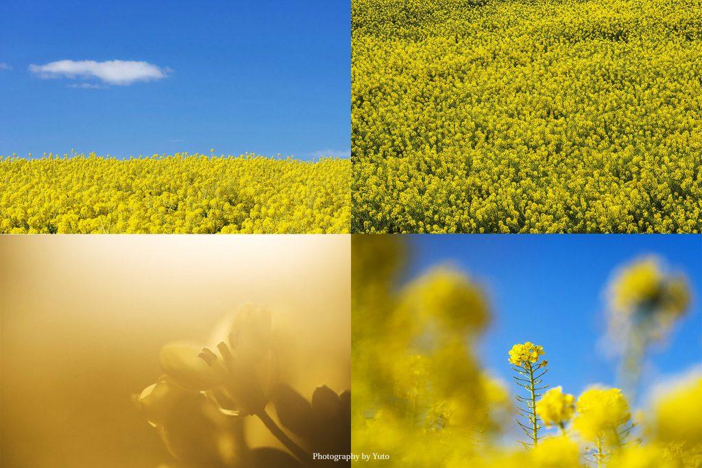 花の撮り方:菜の花 撮影と現像方法
