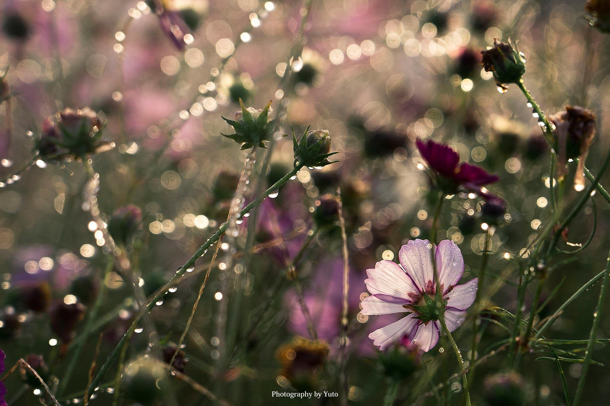 花の撮り方:コスモスの撮り方
