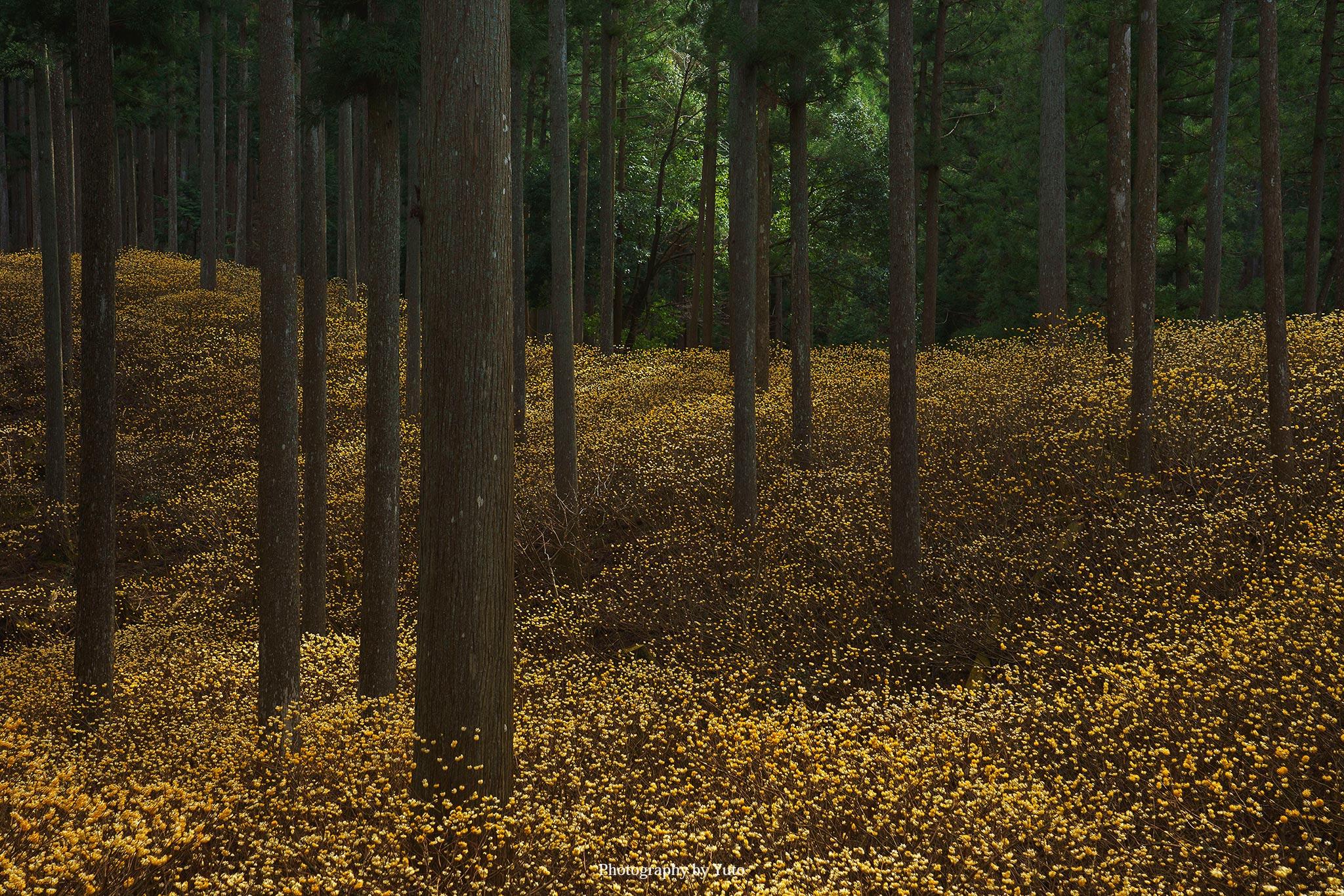 【三重のミツマタ】津市美杉町 石名原のミツマタ群生地 アクセスとミツマタの撮り方を紹介