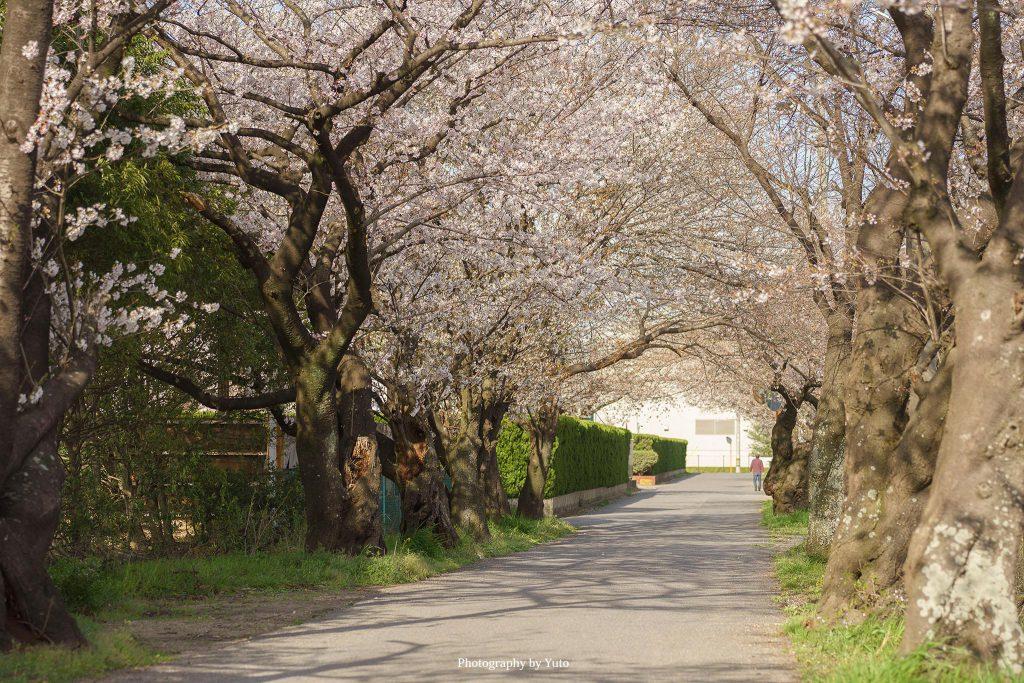 三重県鈴鹿市 石薬師高校前の桜並木 2020/4/2