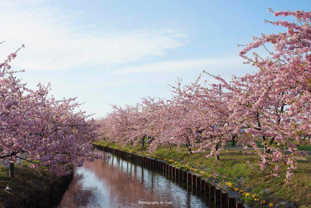 三重県松阪市 笠松河津桜ロード 2020/3/3