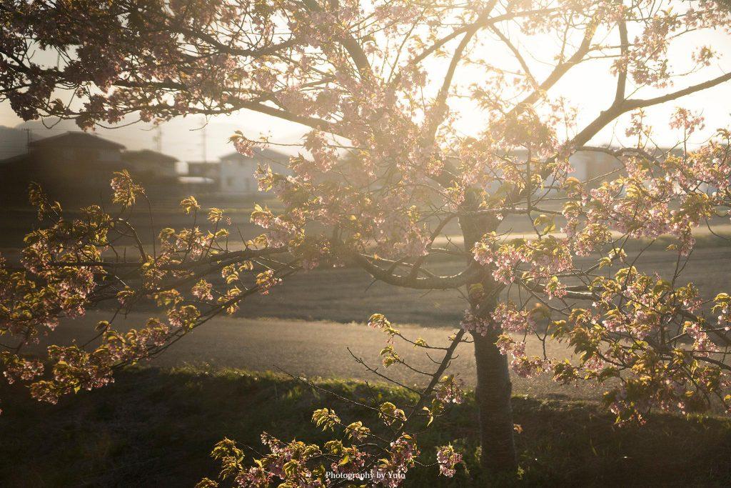 三重県松阪市 笠松河津桜ロード 2020/3/6