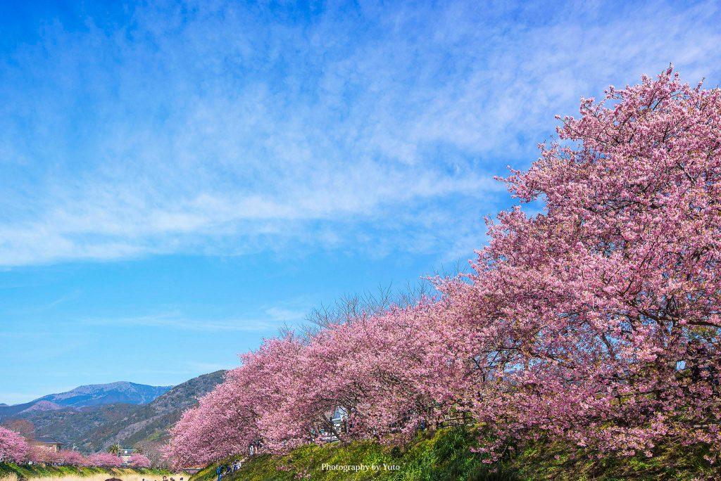 静岡県河津町 河津桜祭り 2018/3/3