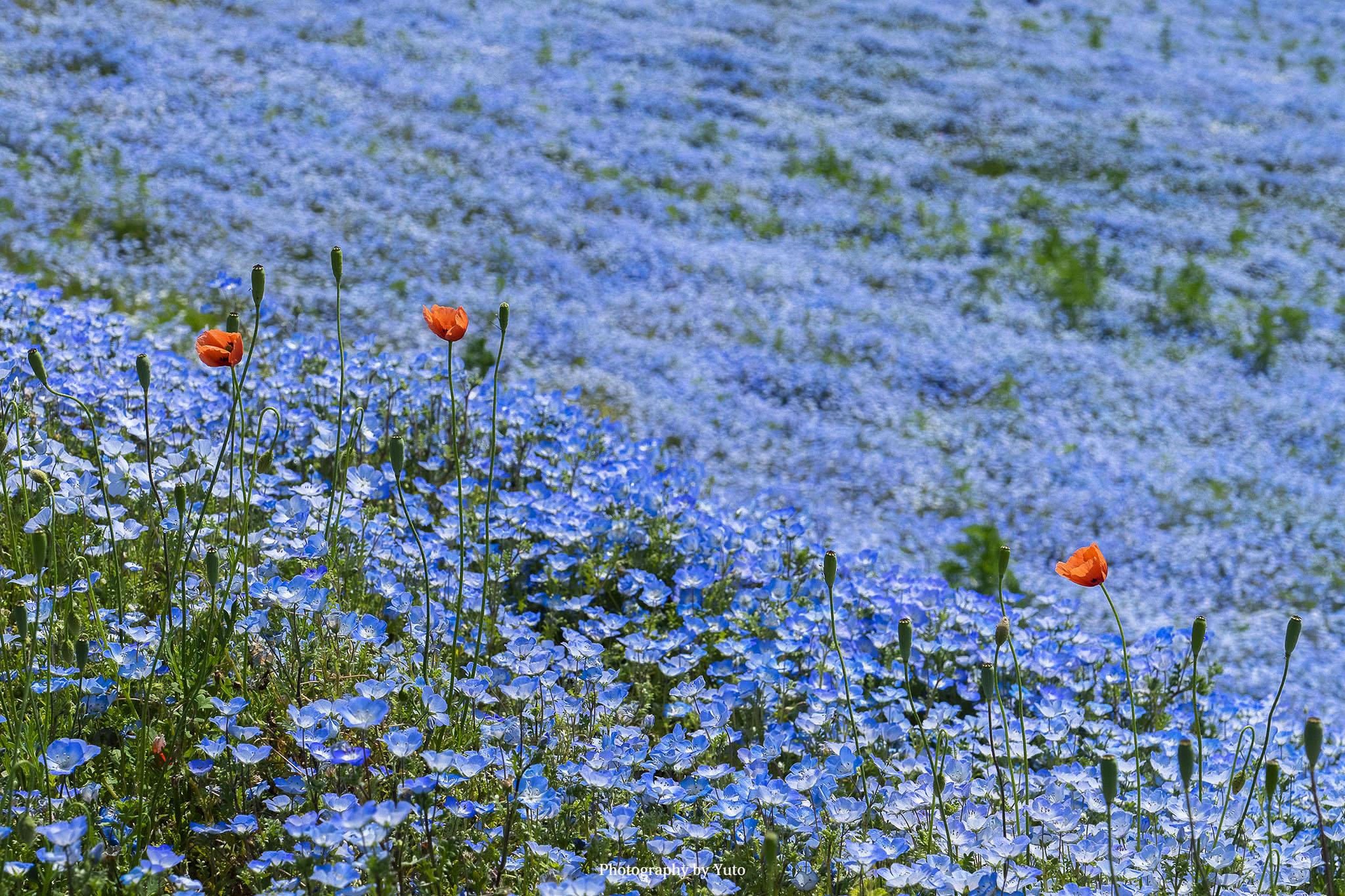 花の撮り方:ネモフィラ 撮影と現像方法
