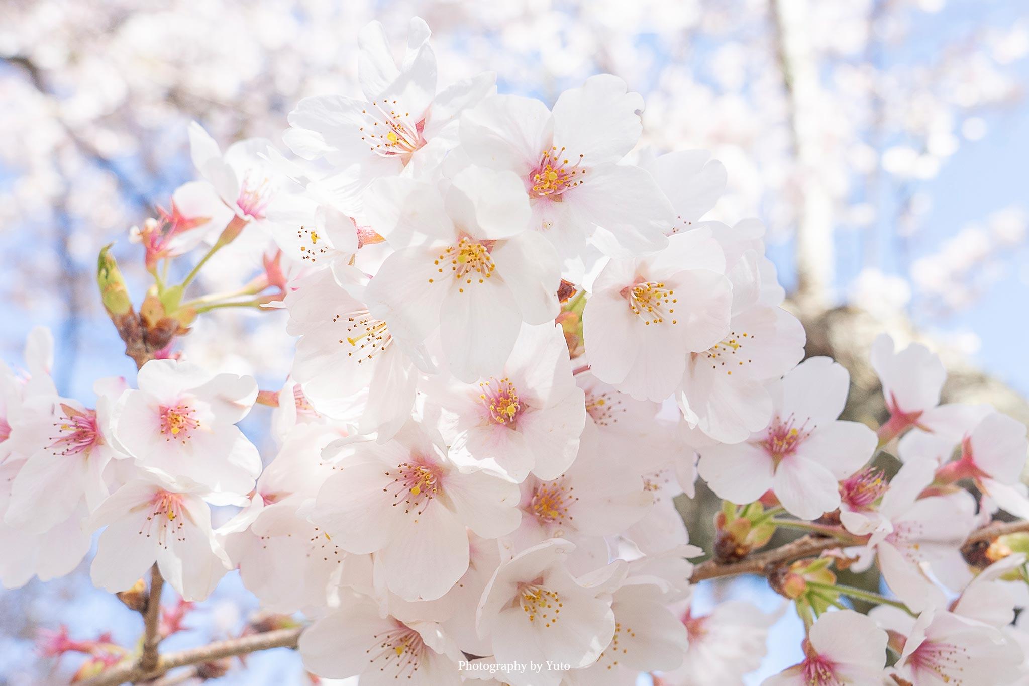 花の撮り方:桜 撮影と現像方法