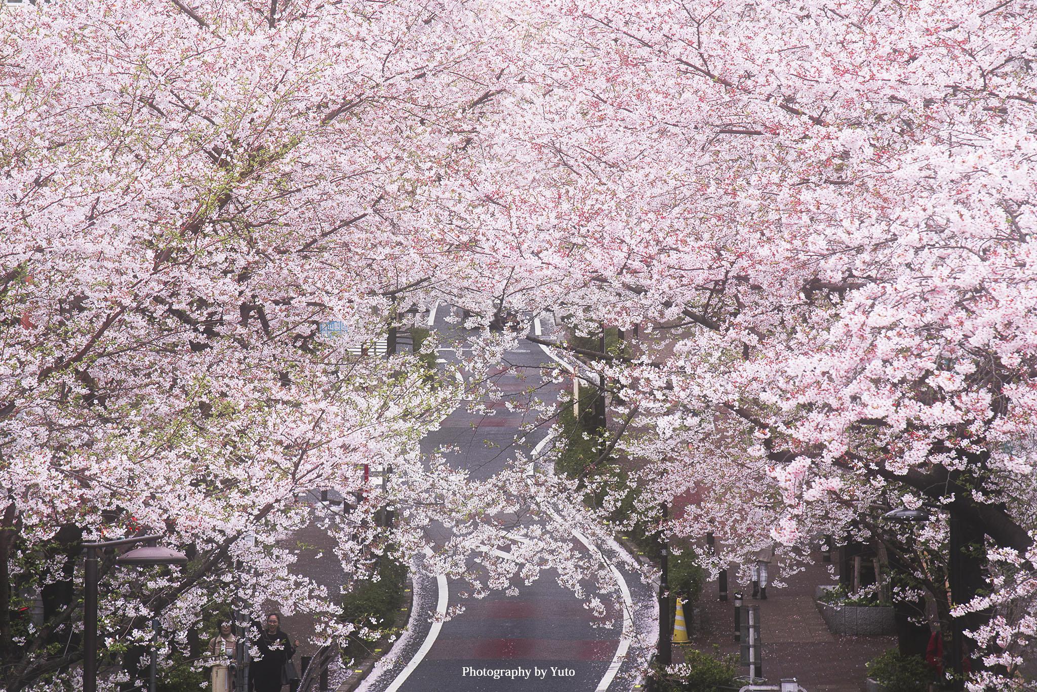 東京の桜 桜坂 渋谷駅近くにある隠れた桜名所
