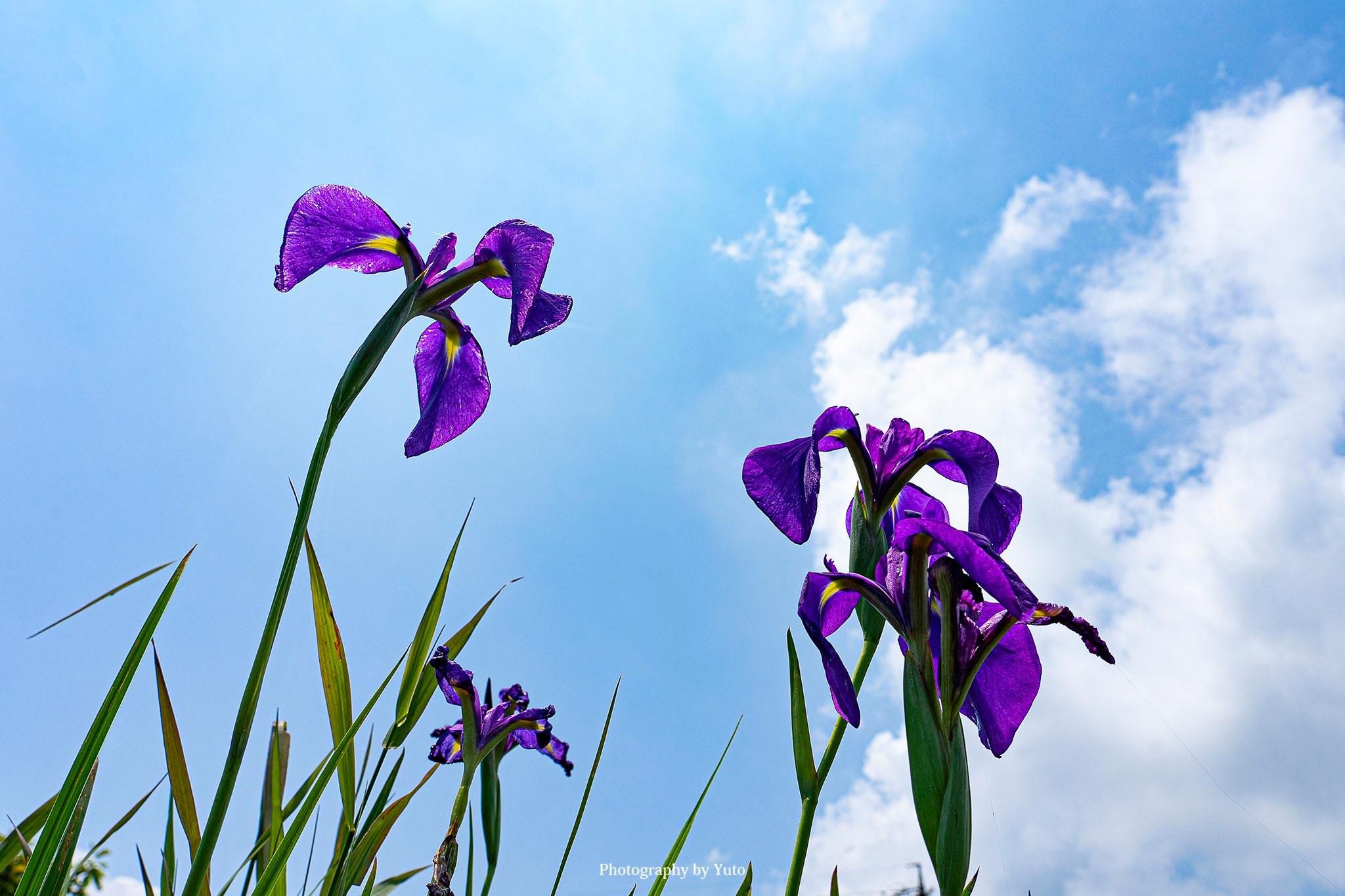 花の撮り方:花菖蒲 撮影のレシピ