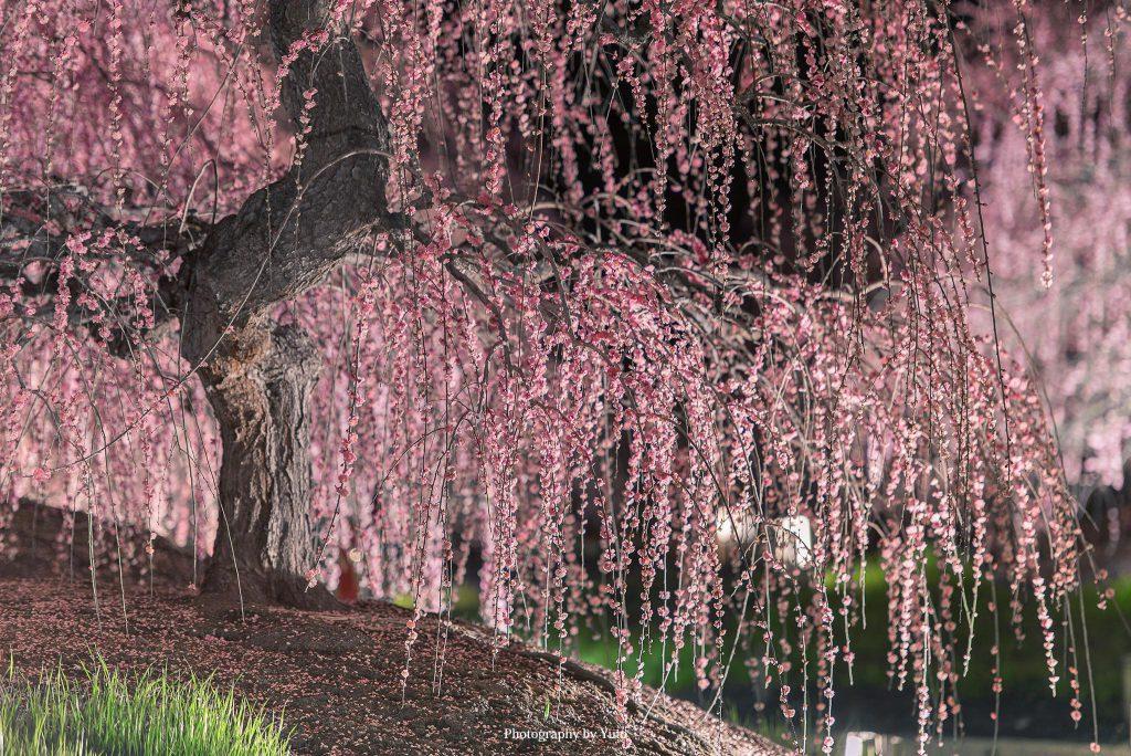 三重県鈴鹿市 鈴鹿の森庭園 2017/3/23