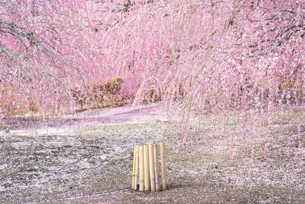 三重県鈴鹿市 鈴鹿の森庭園 2018/3/18