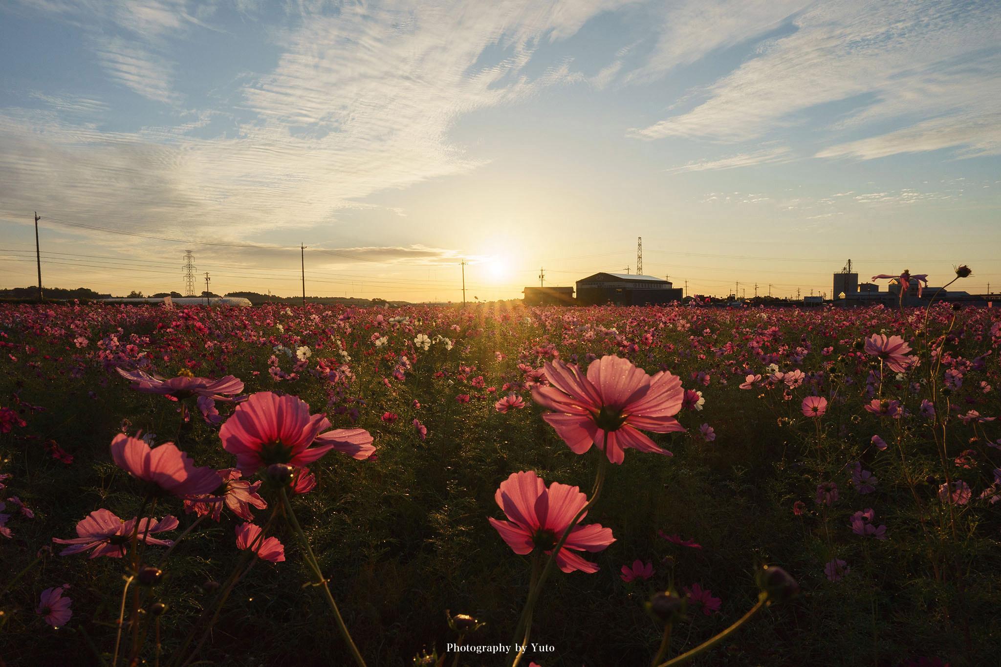 【三重のコスモス】菰野町 田光(たびか)の畑