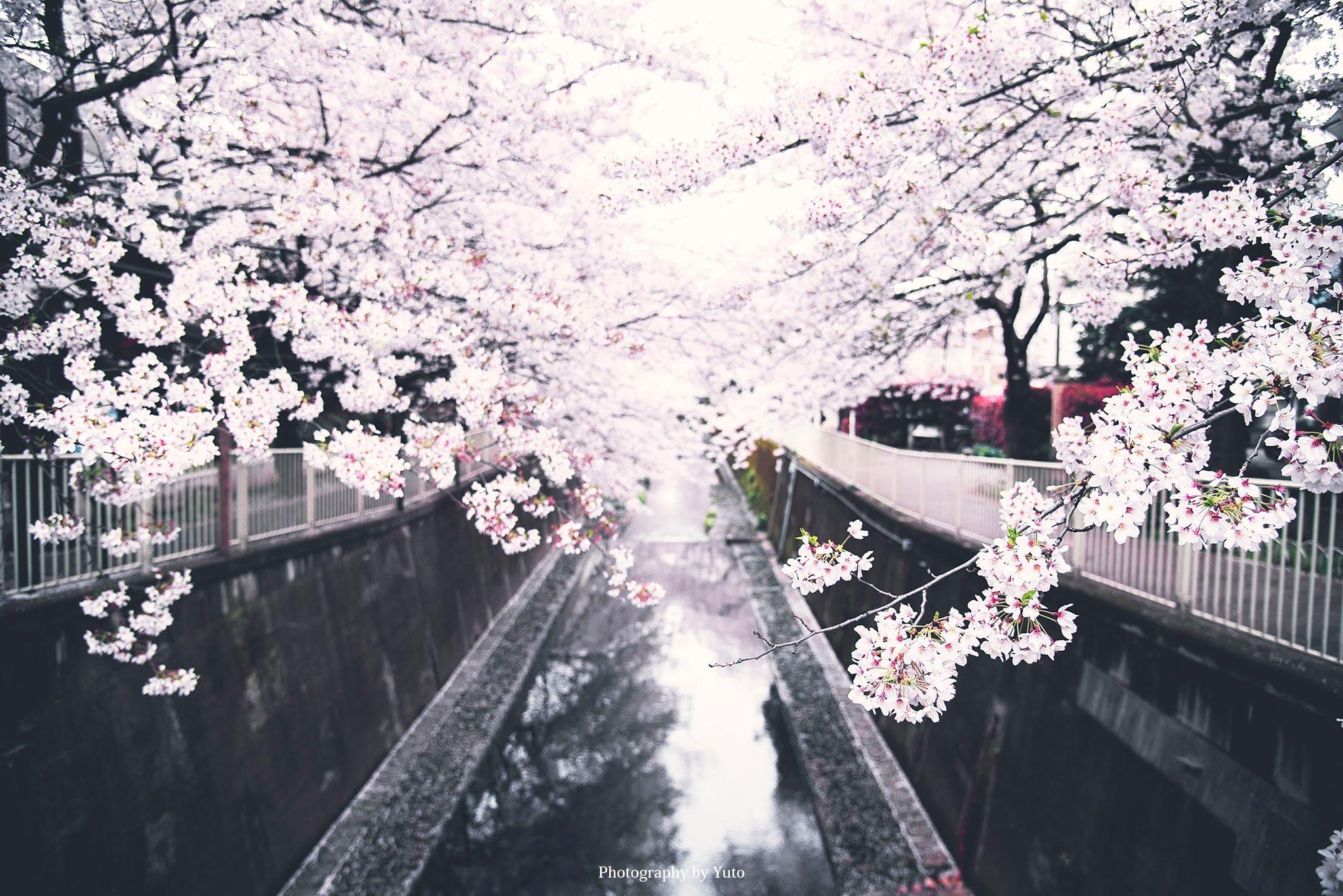 東京の桜 高井戸 神田川沿いの桜並木は隠れた絶景