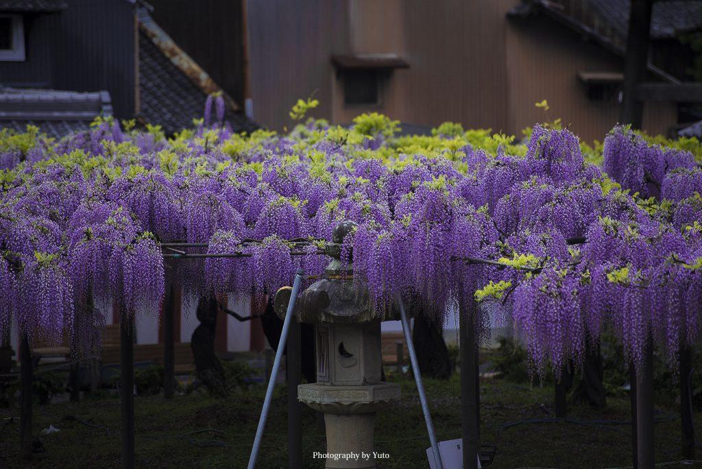 岐阜県羽島市 竹鼻別院 2019/4/26