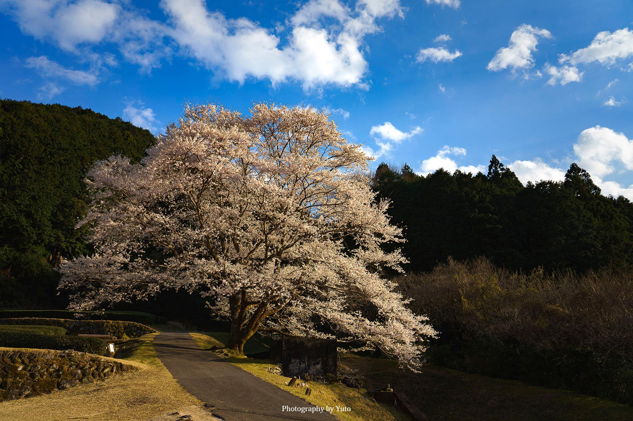 竹原の淡墨桜 午後 青空とのコラボが美しい