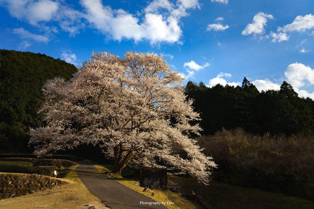 三重県津市 竹原の淡墨桜 2020/3/24