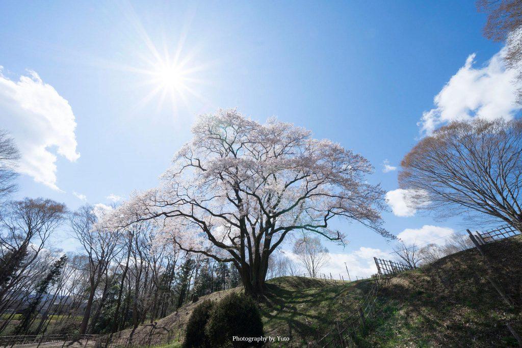 埼玉県寄居町 鉢形城 氏邦桜 2019/4/2