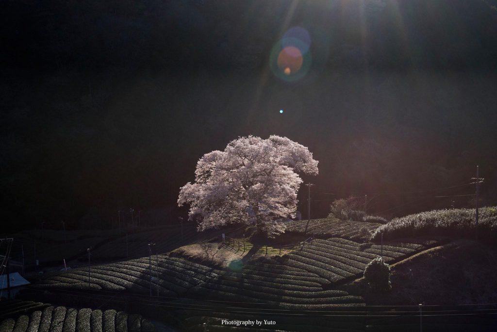 静岡県島田市 牛代の桜 2019/4/1